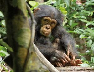 Oscar on his own in the movie Chimpanzee