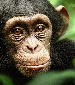 Oscar's eyes in the movie Chimpanzee