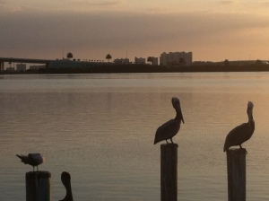 pelican at clearwater beach Kindness the Movie