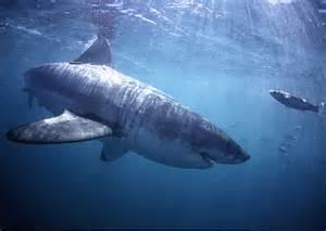 shark circling