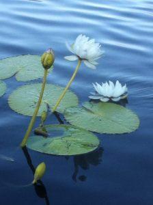 lotus botannical gardens