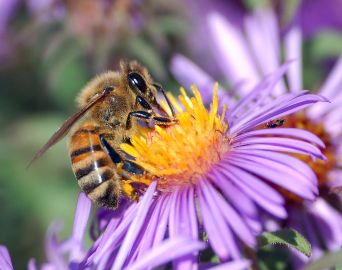 1280px-European_honey_bee_extracts_nectar