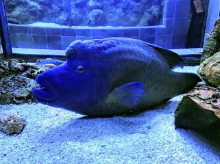 big blue fish