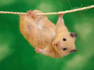 hamster on happiness line