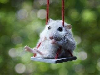 hamster on swing